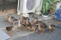 お宿の前を行く小鴨の引越し
