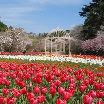 【はままつフラワーパーク】桜チューリップ