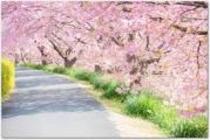 満開の河津桜並木