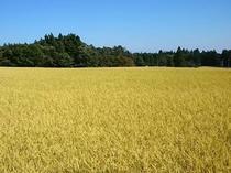 お米は那須産です