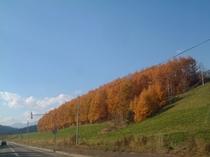 秋・カラマツの黄葉