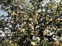 春・りんごの木