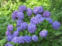 紫陽花ー4