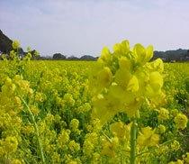 南伊豆菜の花