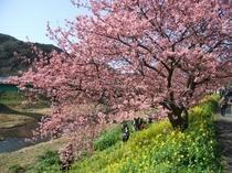 下賀茂の桜