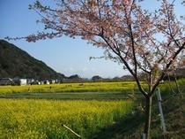 下賀茂の青野川沿いに咲く桜
