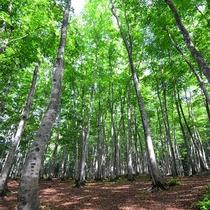 【観光】樹齢約100年のブナ林。写真愛好家の間で全国的に知られる撮影スポットは観光にもお薦めです。