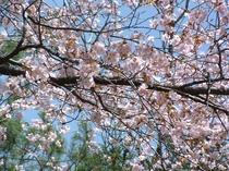 温根湯神社の桜_