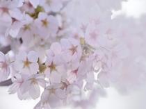 綺麗な桜♪写真を撮るのにもいい景色が広がります。