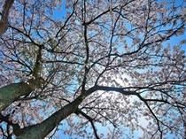 満開の桜が沢山*。お花見にいいですよ♪