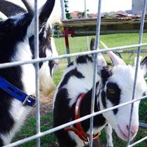 【パンダヤギ】密かな人気!?当館のガーデンで飼っているヤギくんたち