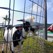 【パンダヤギ】好物は、柔らかい葉っぱ♪食いしん坊だからいつでも餌やりに来てね