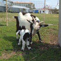 *当館の人気者!パンダヤギたちに子ヤギが生まれました(2014年3月)