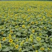 見渡す限りまばゆい黄色が広がるひまわり畑