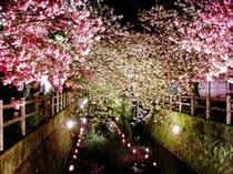 中野川八重桜 夜