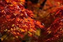 耶馬溪紅葉