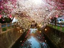 中野川八重桜夜2
