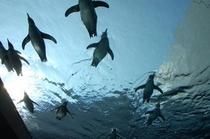 フンボルトペンギン