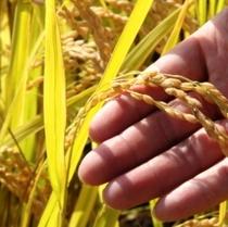 食材-稲刈り (2)