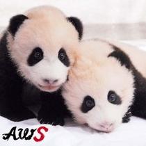 アドベンチャーワールド・双子パンダ