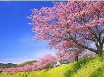 伊豆の春を告げる河津桜