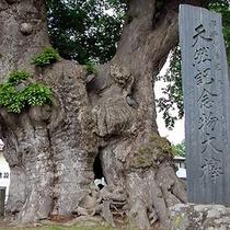 特別天然記念物「大ケヤキ」【車で5分】
