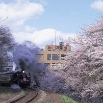 桜の中を走るSLばんえつ物語号