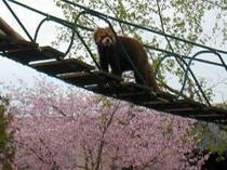 レーサーパンダと桜 提供:旭山動物園