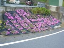 当館近くに咲き始めました。シバザクラです。
