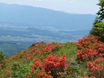 【春】八子ケ峰のレンゲツツジです