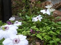 【春】6月中旬 壱番館のクレマチスです