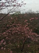河津桜(庭)