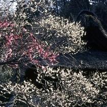 東慶寺・紅白梅