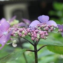 5/30撮影長谷寺紫陽花
