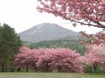 昭和の森の桜・1