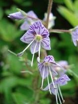 バンダイクワガタの花