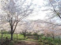 お城山裏側の桜