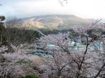 お城山の桜と頭の隠れた磐梯山