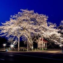 弘法桜(夜)雫石