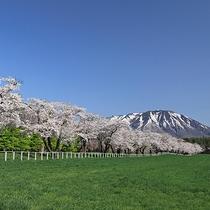 中丸桜並木
