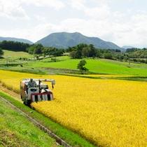 *契約農家さんのお米/収穫期を迎えた田んぼ