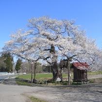 弘法桜 雫石
