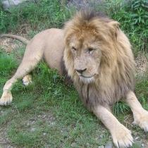 アドベンチャーワールド(ライオン)