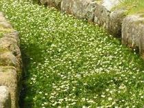 梅花藻は15度前後の清流にしか生息しません