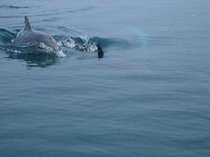 能登島の野生のミナミバンドウイルカ