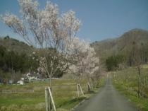 1000本桜の里
