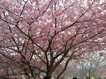 河津桜13