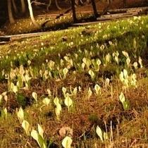 【水芭蕉ライトアップ*春】