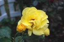 黄色バラ24-16