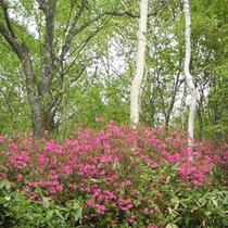 *【春】レンゲツツジがきれいな花を咲かせる春。